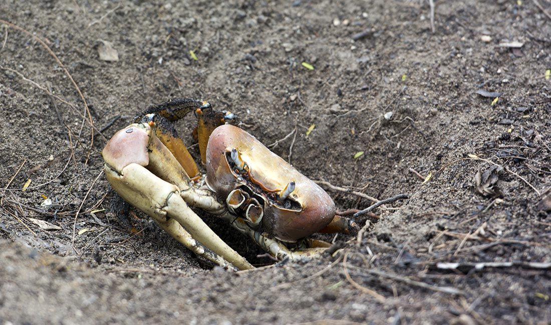 domek kraba